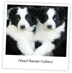 About Border Collies
