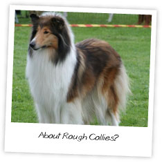 About Rough Collies