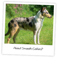 About Smooth Collies