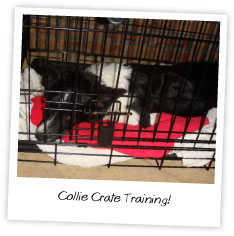 Collie Crate Training