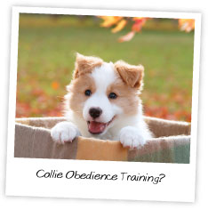 Collie Obedience Training