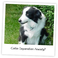 Collie Separation Anxiety