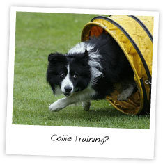 Collie Training?