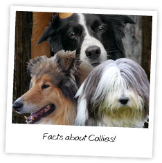 Facts about Collies