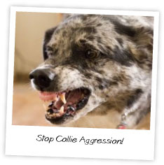 Stop Collie Aggression