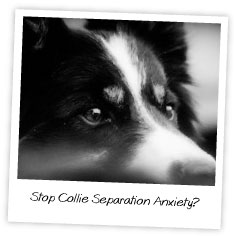 Stop Collie Separation Anxiety