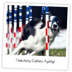 Teaching Collies Agility