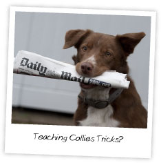 Teaching Collies Tricks